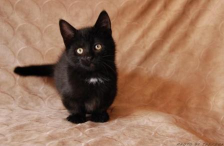 black Munchkin kitten
