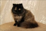 black tortie persian