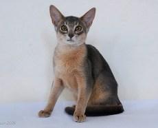 Chenzira Kissa |blue Abyssinian kitten |Owner Chantelle Heydenrych