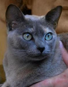 Blue solid tortie Tonkinese cat