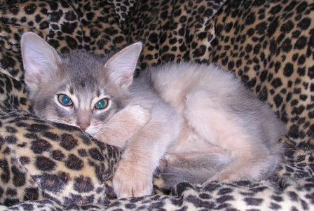 blue Somali kitten