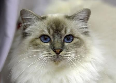 blue tabby point Birman cat