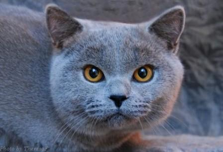 British Shorthair - blue