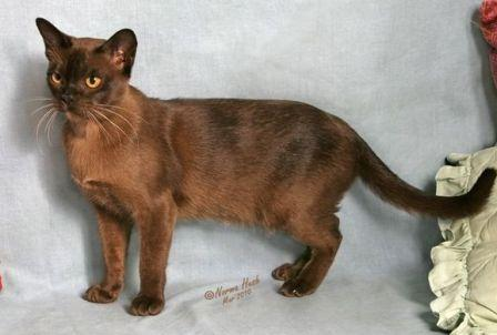 brown or sable Burmese cat