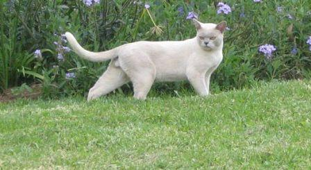 lilac Burmese cat in garden