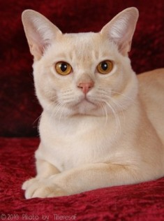 cream Burmese cat