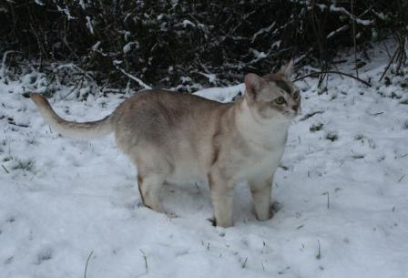 Burmilla cat in the snow