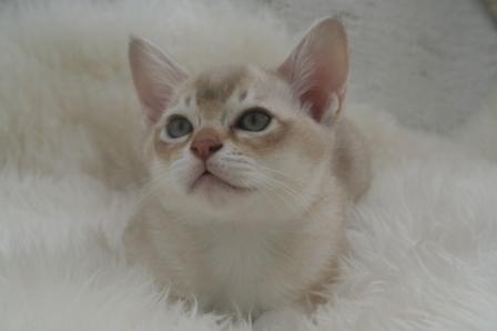 Burmilla kitten
