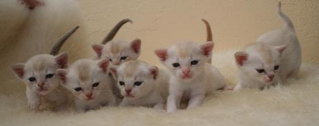 cute Burmilla kittens