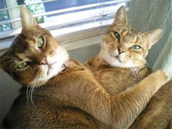 affectionate Chausie cats