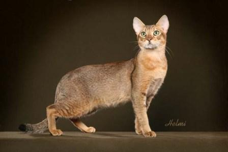 Brown Ticked Tabby | Chausie cat | ©Photo Courtesy of Helmi Flick
