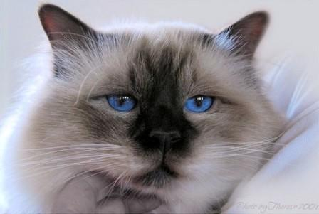 chocolate pointed Birman Cat