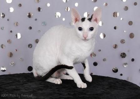black van Cornish Rex cat