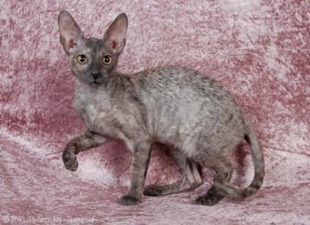 blue tortie Cornish Rex cat
