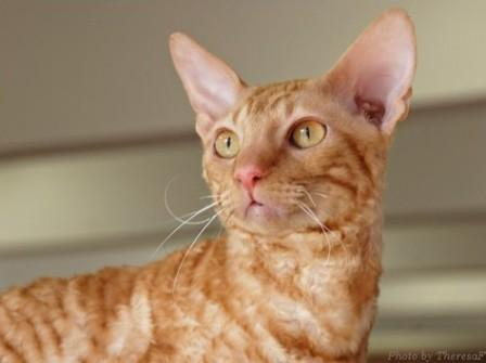 red Cornish rex