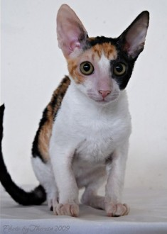 calico Cornish Rex cat