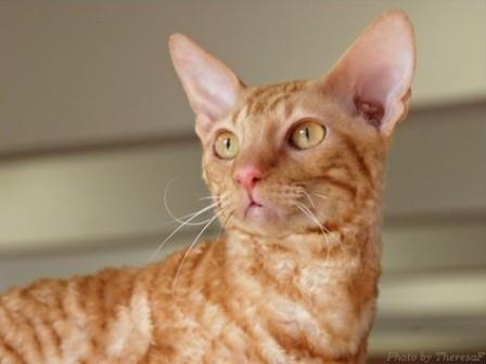red Cornish Rex cat