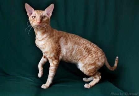 red Cornish Rex cat