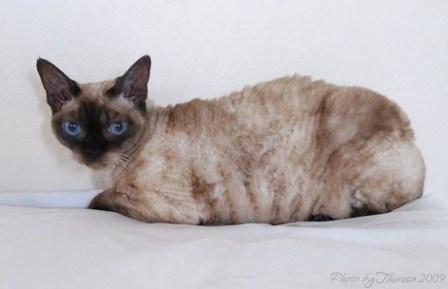 sealpoint Devon Rex cat