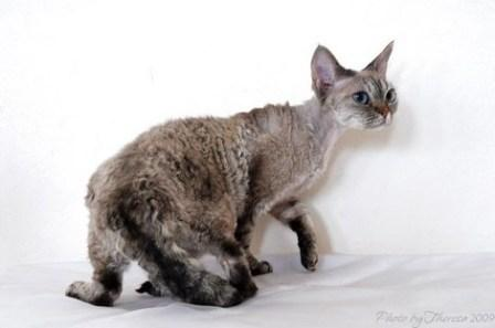 curly coated Devon Rex cat