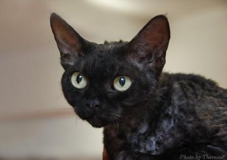 black Devon Rex cat