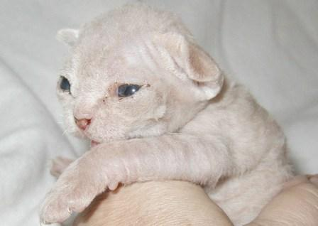 10-Day old Devon Rex kitten