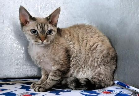 Devon Rex at cat show