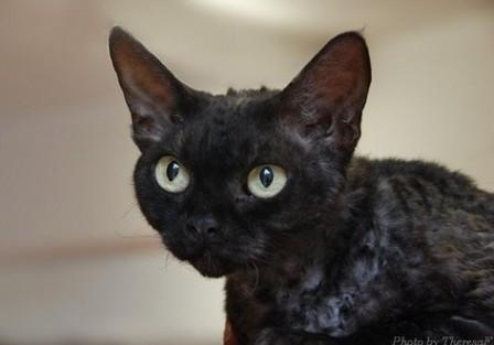 black smoke Devon Rex cat