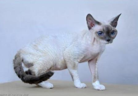 blue point bi-color Devon Rex cat