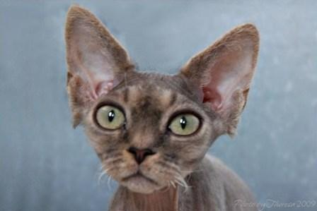 blue tabby Devon Rex cat