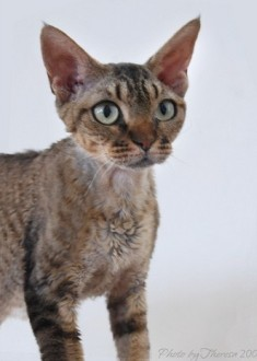 brown tabby Devon Rex