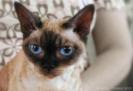 chocolate point Devon Rex cat