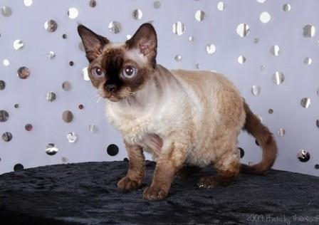 seal point Devon Rex cat