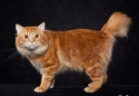 American Bobtail | photo Preston Smith |Lorna Friemoth