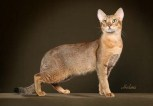 Chausie cat | ©Photos Courtesy of Helmi Flick