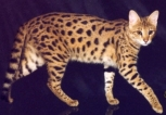 Savannah Cat | Agent Cats