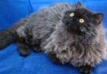 Selkirk Rex | courtesy Pamela Anderson UK