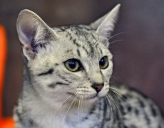 egyptian mau cat