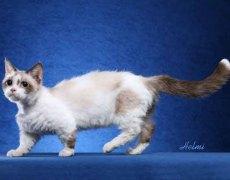 lambkin cat