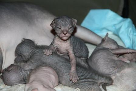 Donskoy kittens