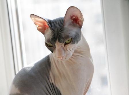 Russian Hairless cat