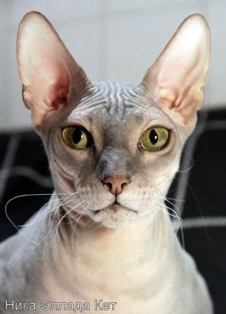 Russian Hairless cat