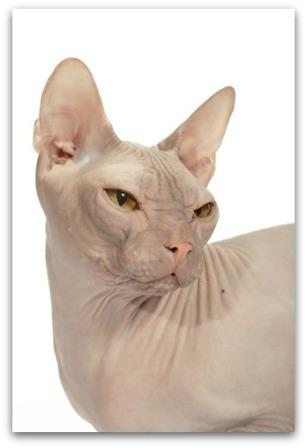 Russian Hairless cat or Donsky