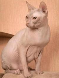 don sphynx hairless
