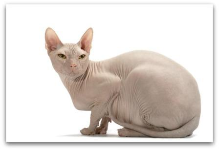 Don Sphynx or Donskoy cat