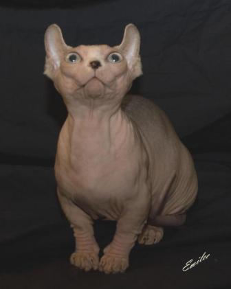 Dwelf cat breed