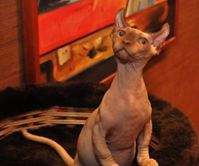Dwelf Cat