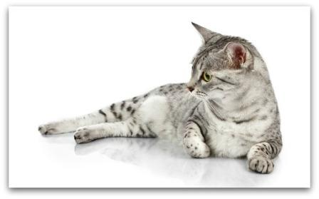 egyptian-mau-cat