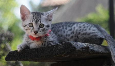 silver Egyptian Mau kitten