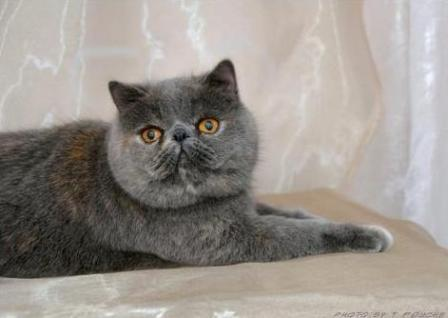 blue tortie Exotic Shorthair cat